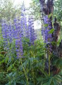 blue Streamside Lupin