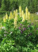 yellow Streamside Lupin