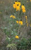 yellow Mexican Hats, Grey Headed Coneflower, Upright Prairie Coneflower, Yellow Coneflower, Red Hats