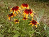 orange Black-eyed Susan, Eastern Coneflower, Orange Coneflower, Showy Coneflower