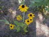 yellow Black-eyed Susan, Eastern Coneflower, Orange Coneflower, Showy Coneflower