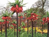 red Crown Imperial Fritillaria