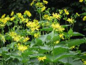 yellow Cup Plant. Rosinweed