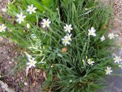 white Stout Blue-eyed Grass, Blue eye-grass
