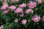 pink Cornflower Aster, Stokes Aster