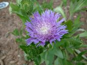 lilac Cornflower Aster, Stokes Aster