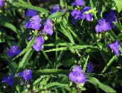 blue Virginia Spiderwort, Lady's Tears