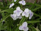 white Virginia Spiderwort, Lady's Tears