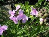 pink Virginia Spiderwort, Lady's Tears