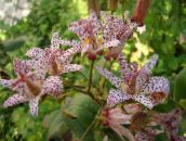 red Toad Lily