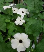 white Black eye Susan