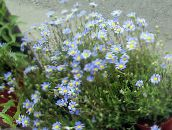 light blue Blue Daisy, Blue Marguerite