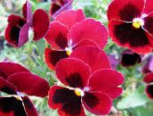 red Viola, Pansy