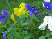 light blue Viola, Pansy