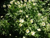 white Canada Anemone, Meadow Anemone