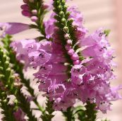 pink Obedient plant, False Dragonhead