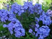 light blue Garden Phlox