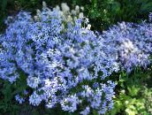 light blue Creeping Phlox, Moss Phlox