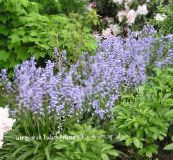 light blue Spanish Bluebell, Wood Hyacinth