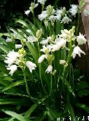 white Spanish Bluebell, Wood Hyacinth