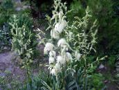 white Adam's needle, Spoonleaf Yucca, Needle-Palm