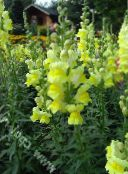 yellow Snapdragon, Weasel's Snout