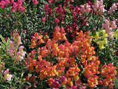orange Snapdragon, Weasel's Snout