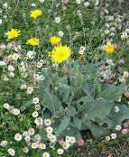 yellow Yellow hawkweed, Fox and Cubs, Orange Hawkweed, Devil's Paintbrush, Grim-the-Collier, Red Daisy