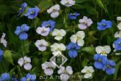 white Day Flower, Spiderwort, Widows Tears