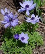 light blue Crown Windfower, Grecian Windflower, Poppy Anemone