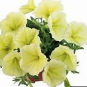 yellow Petunia Fortunia