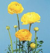 yellow Ranunculus, Persian Buttercup, Turban Buttercup, Persian Crowfoot