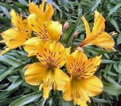 yellow Alstroemeria, Peruvian Lily, Lily of the Incas