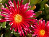 red Ice Plant