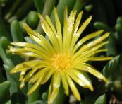 yellow Ice Plant