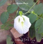 white Butterfly Pea