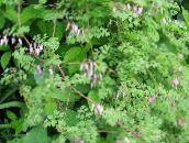 pink Allegheny Vine, Climbing Fumitory, Mountain Fringe