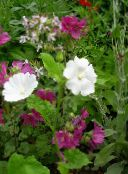white Snowcup, Spurred Anoda, Wild Cotton