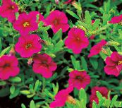 pink Calibrachoa, Million Bells
