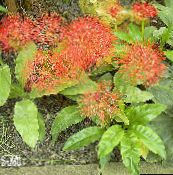 red Torch Lily, Blood Lily, Paintbrush Lily, Football Lily, Powderpuff Lily, Fireball Lily