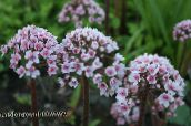 pink Umbrella Plant, Indian Rhubarb