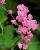 pink Mexican Coral Vine, Coral Creeper, Honolulu Creeper, Corallita, Chinese Love Vine