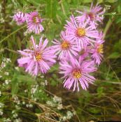 photo Garden Flowers New England aster, Aster novae-angliae pink