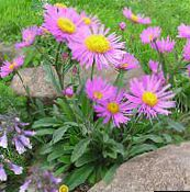 photo Garden Flowers Alpine Aster, Aster alpinus pink