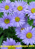 photo Garden Flowers Alpine Aster, Aster alpinus light blue