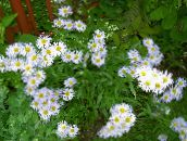 photo Garden Flowers Alpine Aster, Aster alpinus white
