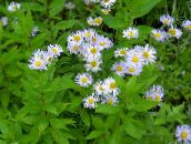 photo Garden Flowers Alpine Aster, Aster alpinus lilac
