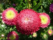red China Aster