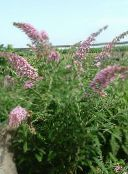 pink Butterfly Bush, Summer Lilac