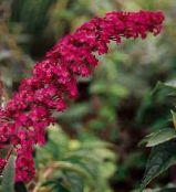red Butterfly Bush, Summer Lilac